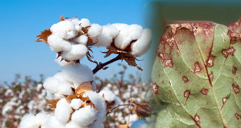 To Control the Spread of Cotton Disease, Scientists Develops a Buttermilk-based Bio Formulation