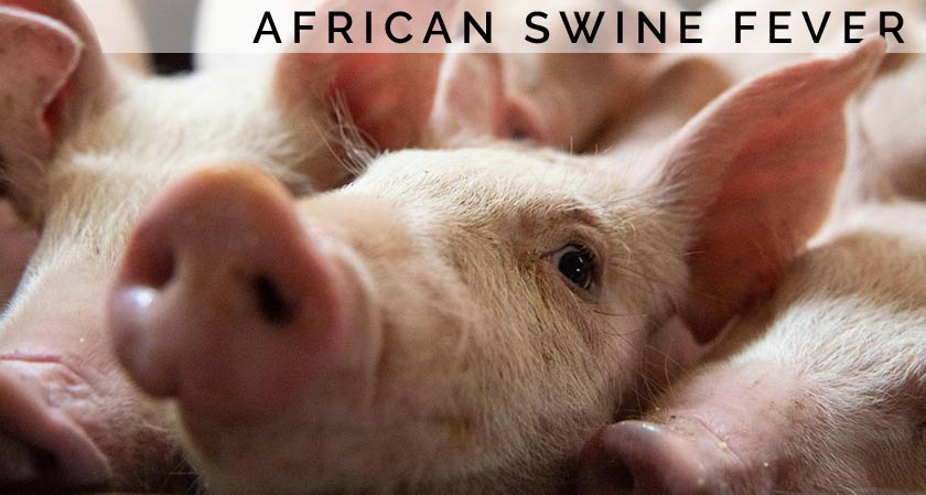 China's swineherd devastated by the outbreak of African swine fever